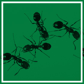 Domestic, Commercial and Industrial Ant Control Solutions - Service Master